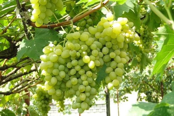 Grapes Augustine: Description
