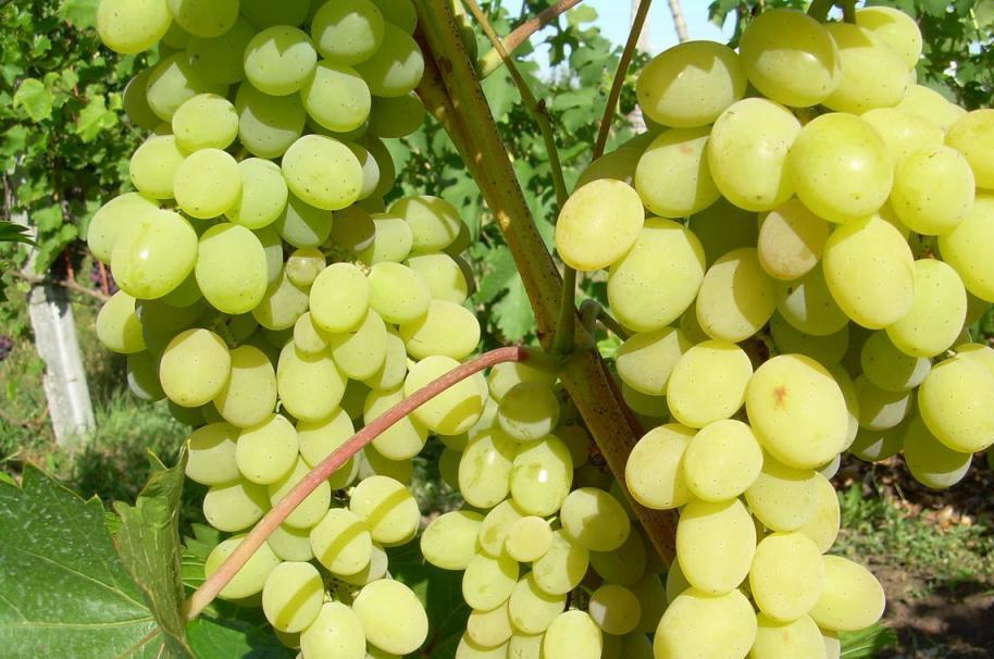Grapes Augustine: photo