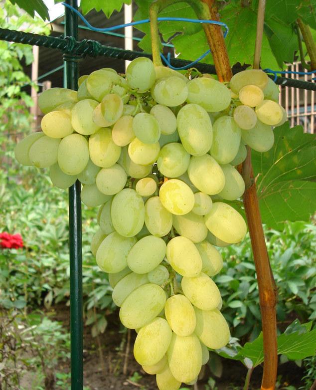 Grapes Augustine: characteristics