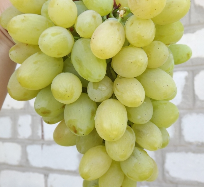 Grapes Augustine: variety description