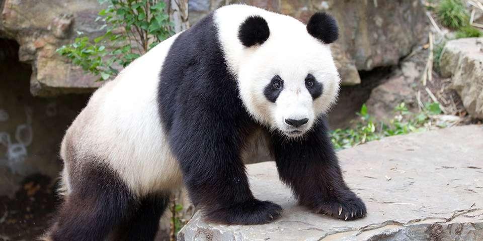 Big panda lives in China