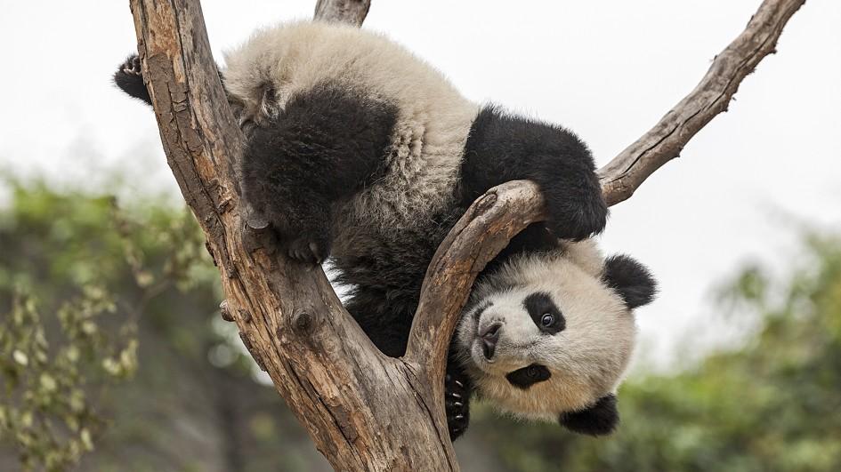 Big panda on tree
