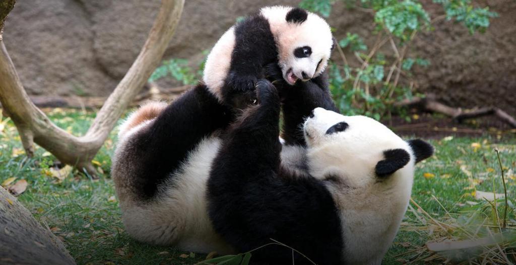 Big panda with a cub