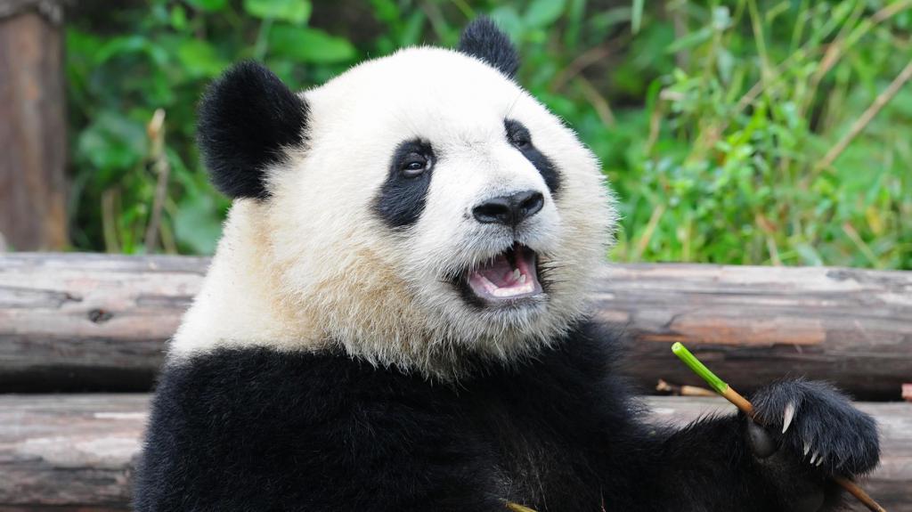 Description of the big panda