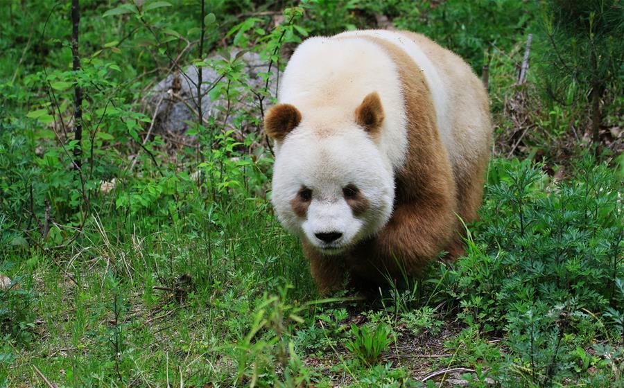 Brown color of the big panda