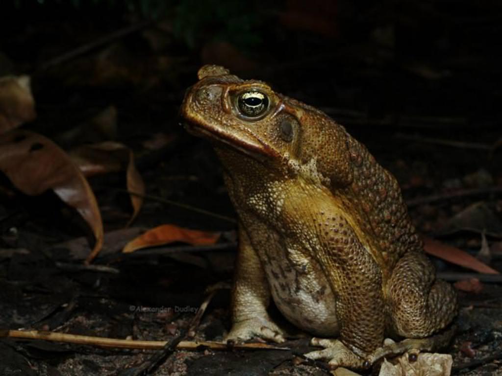 Картинка жабы аги