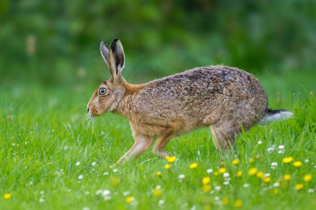 Brown hare: photo