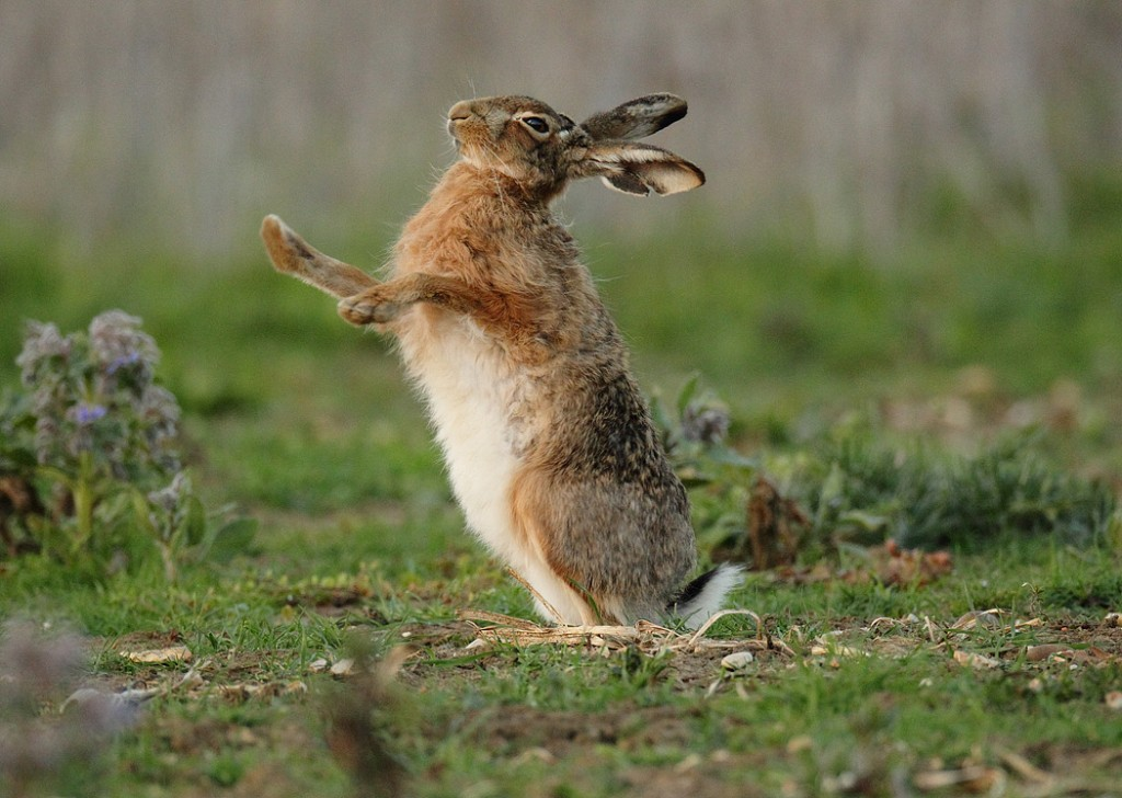 How long does a hare live
