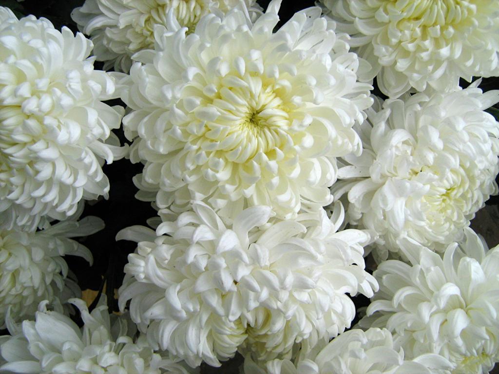 Что означают белые хризантемы