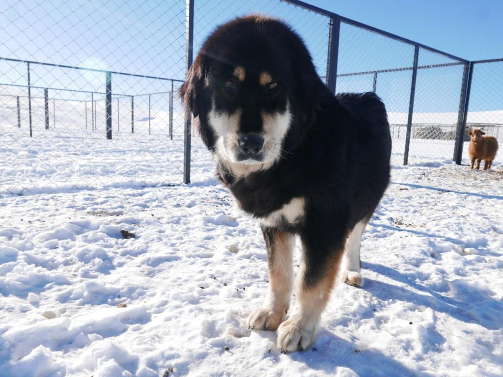 buryat-mongolian wolfhound