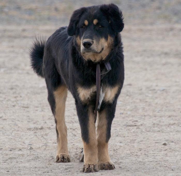 Puppy of the Buryat-Mongol wolfhound hotosho