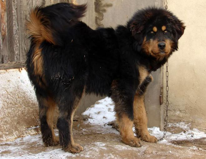Reviews about the Buryat-Mongol wolfhound (hotosho)