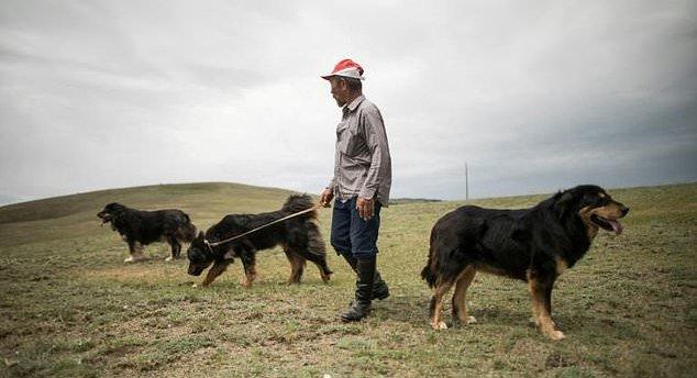 Buryat Mongolian Wolfhound Breed
