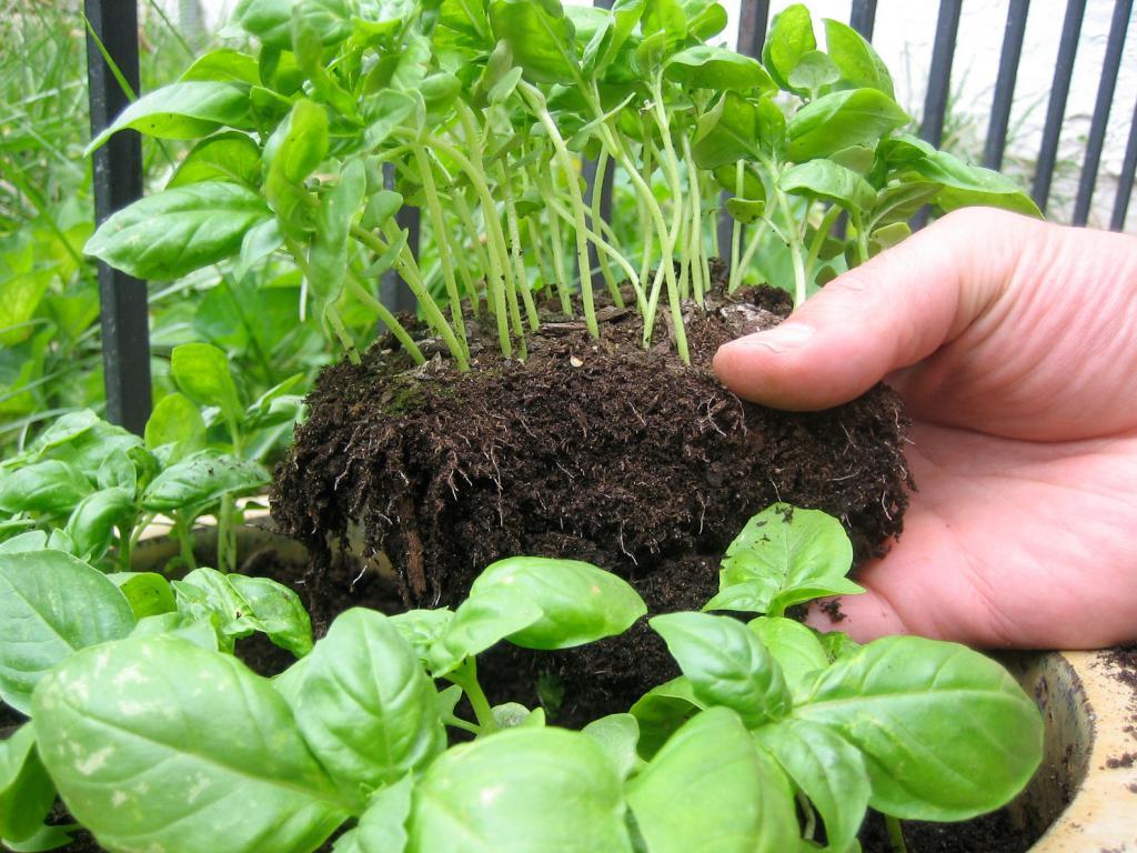 Фиолетовый базилик: особенности выращивание из семян