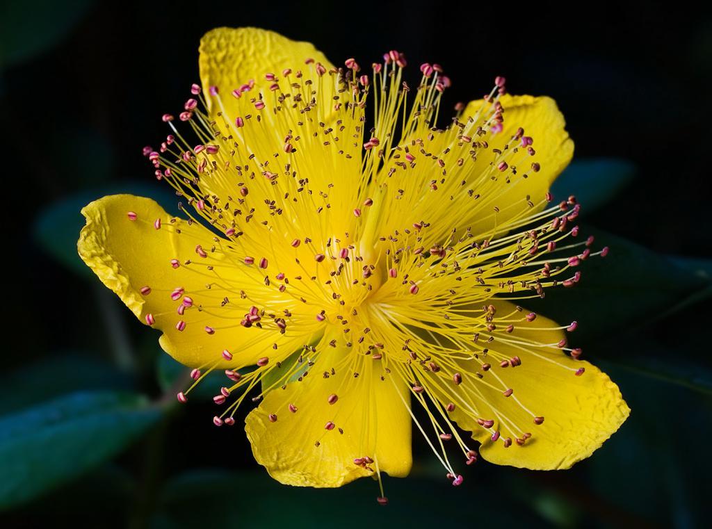 How does St. John's wort bloom?