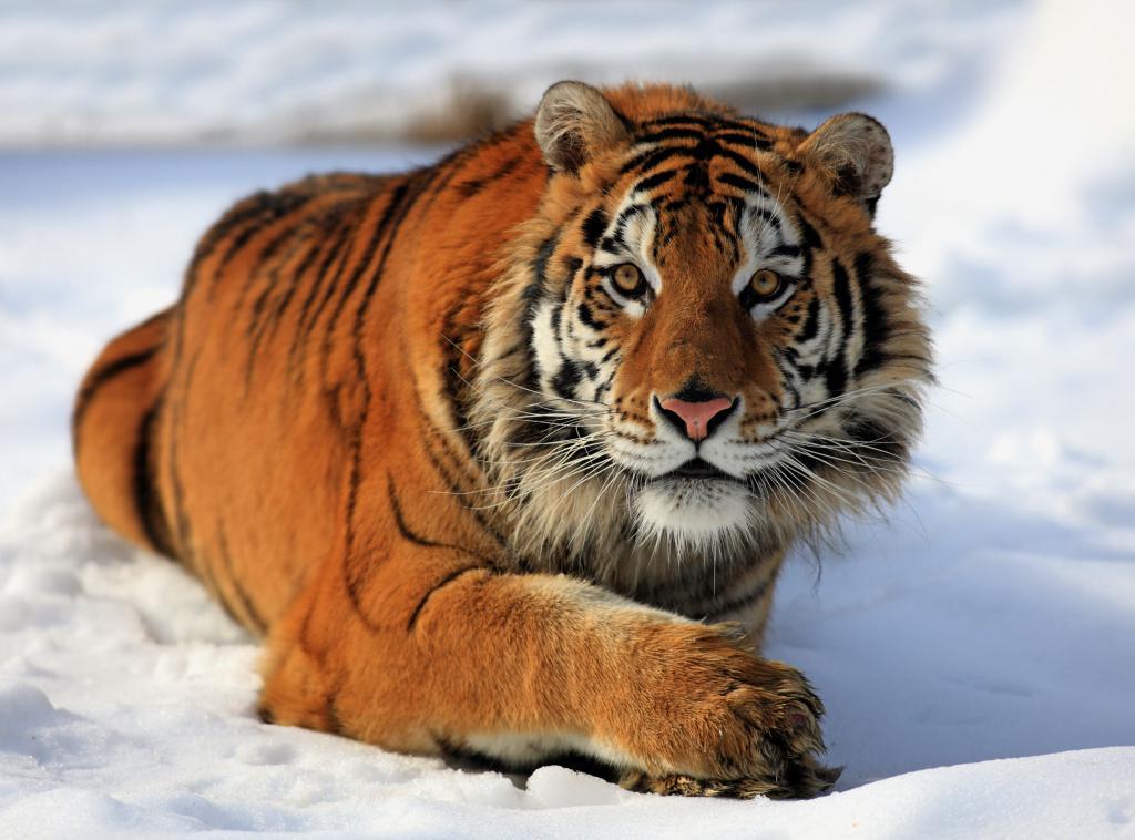 интересное, картинки про амурские тигры его помощью