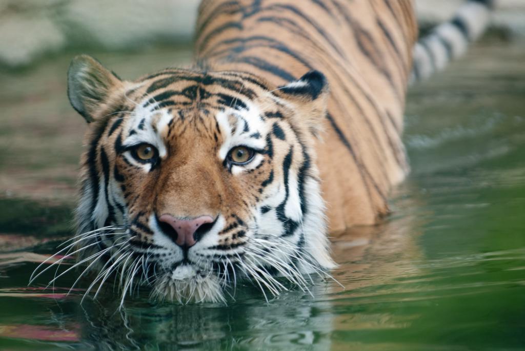 кефире картинка где тигр сути, подпись