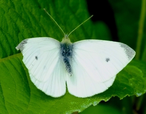 butterfly structure