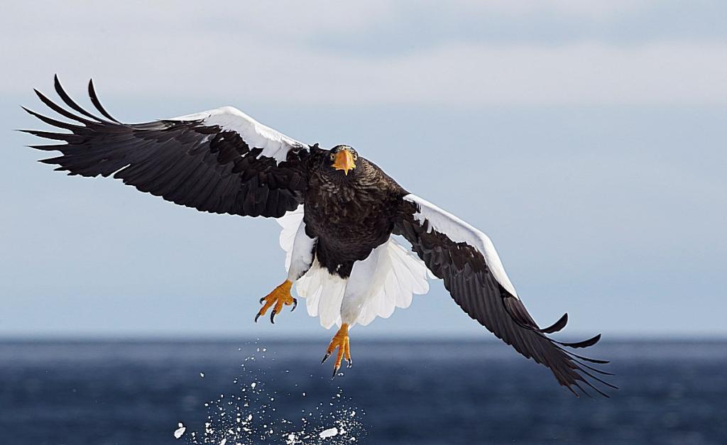 полет белоплечего орлана