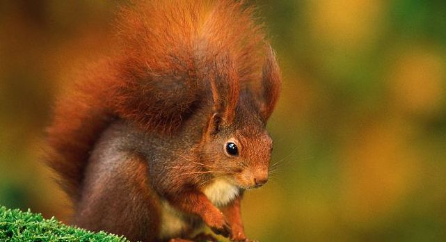 Red squirrel ordinary