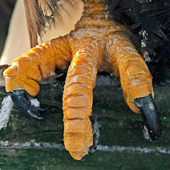 paws of a bald eagle