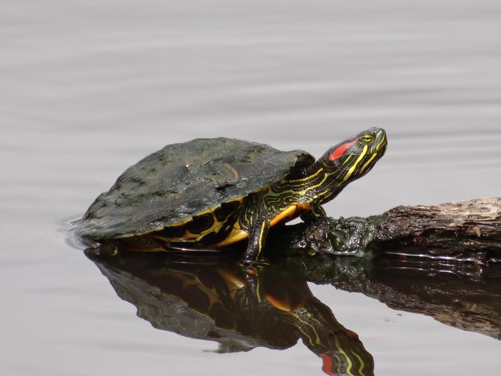 Фото речной черепахи военнослужащие, имеющие