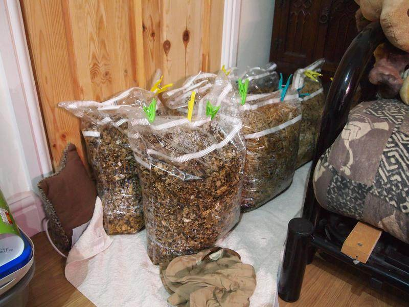 Substrate for growing oyster mushrooms