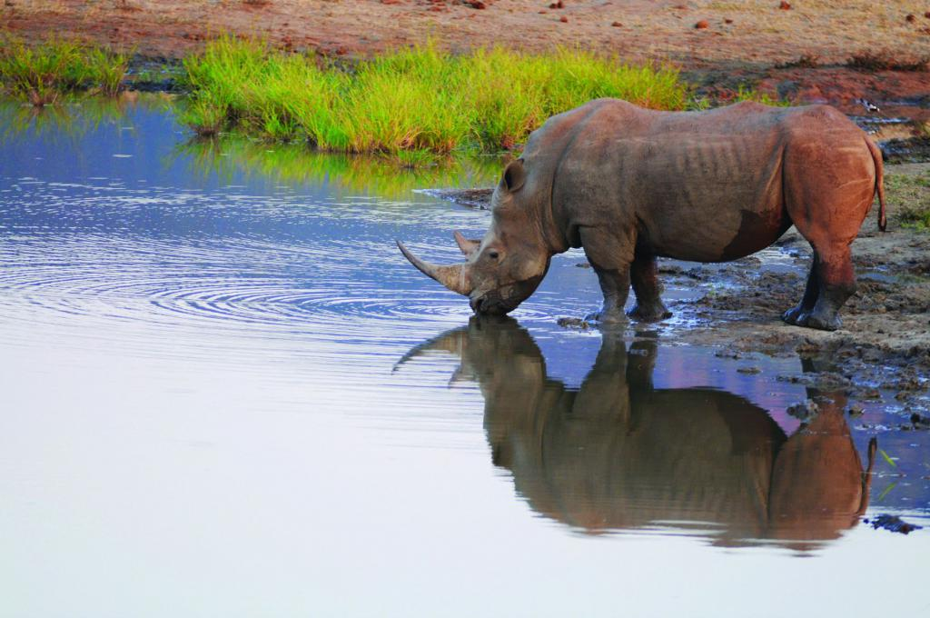 White rhino at a watering place