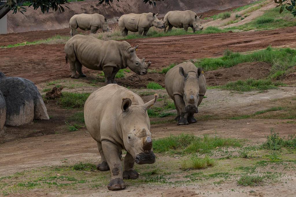 Group of white rhinos