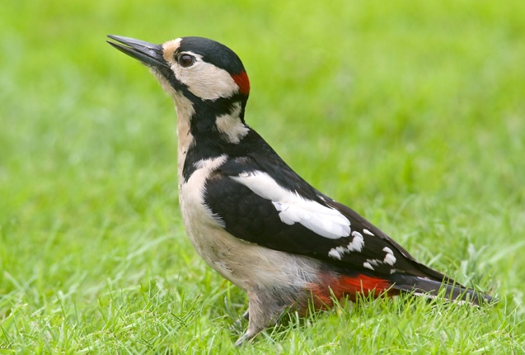 description of a large variegated woodpecker