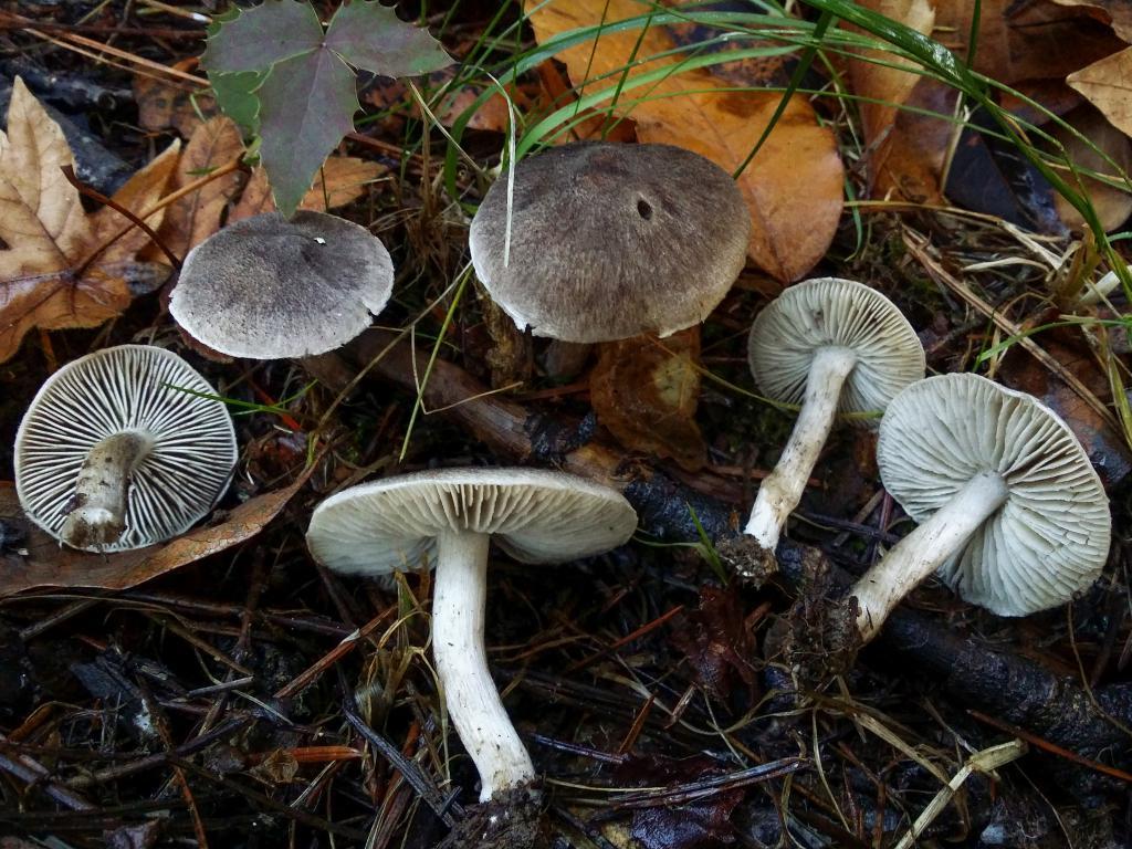 диплом фото грибов рядовок съедобных необходимости существования