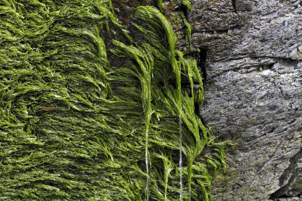 водоросль спирогира