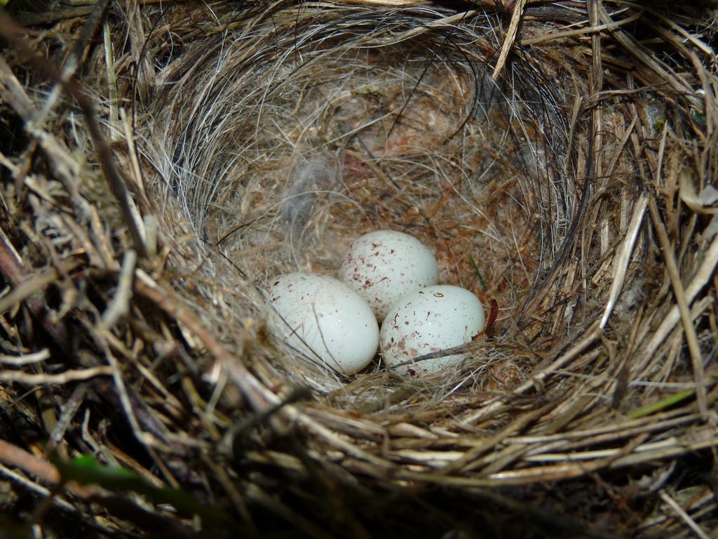 Птица зеленушка: описание, ареал обитания и уход в домашних усдовиях