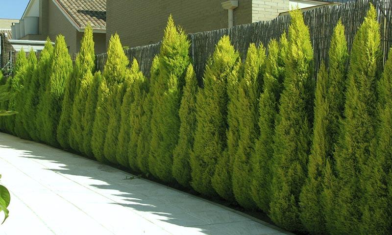 Вечнозеленые растения список