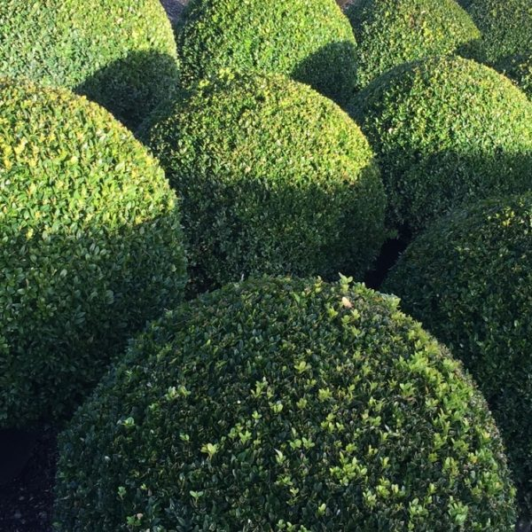 Вечнозеленые вьющиеся растения