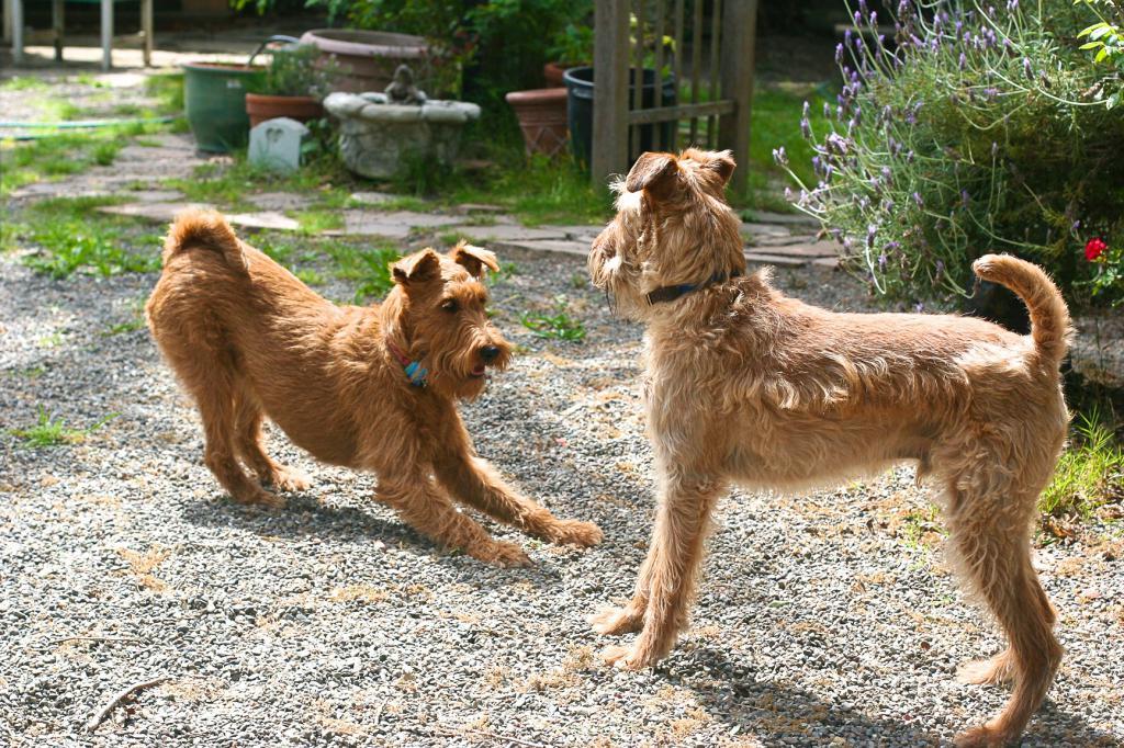 Irish Terrier Character