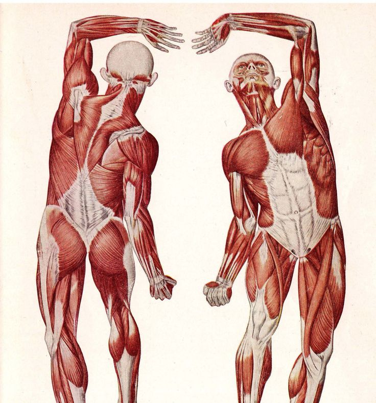 Body structure, muscle