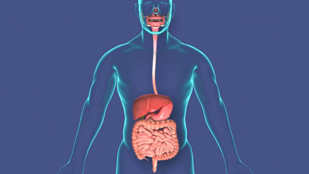 Картинка органов пищеварения