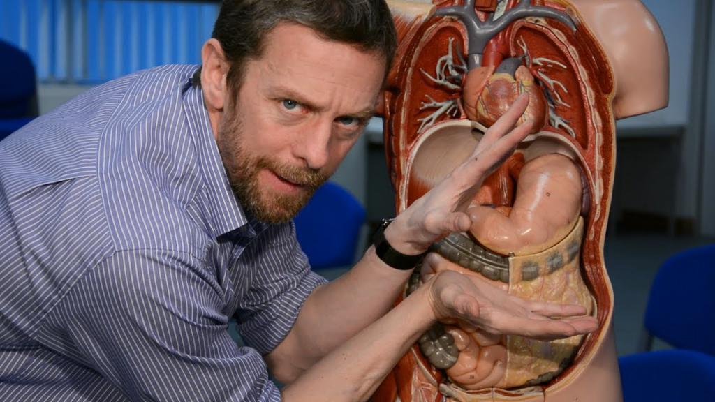 Макет расположения желудка в теле человека