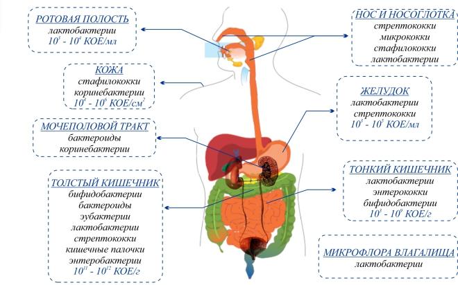 lactobacillus spp в мазке