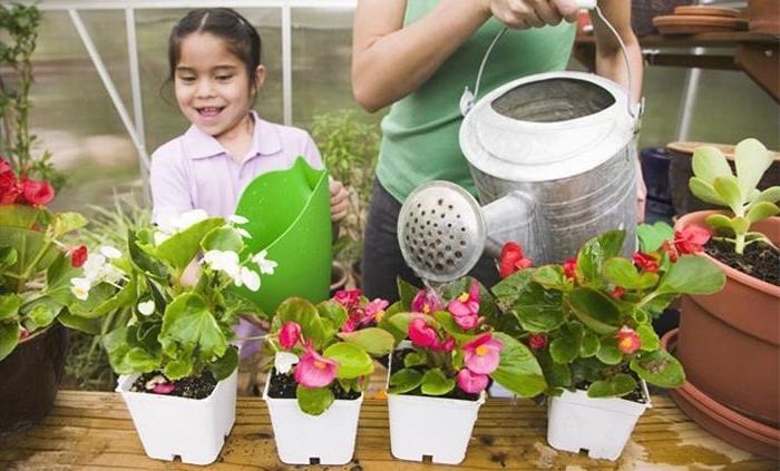 Уход за бегонией садовой в домашних условиях