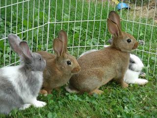 breeding rabbits at home