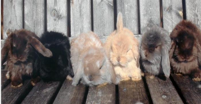rabbit breeding at home