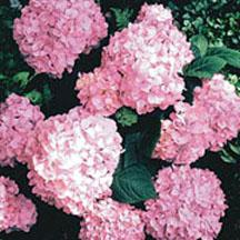 garden hydrangea care