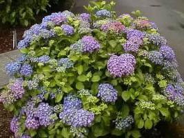 hydrangea garden planting care
