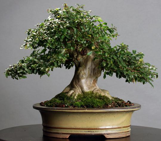 Миртовое дерево, как ухаживать за ним ...: www.syl.ru/article/69926/mirtovoe-derevo-kak-uhajivat-za-nim-v...