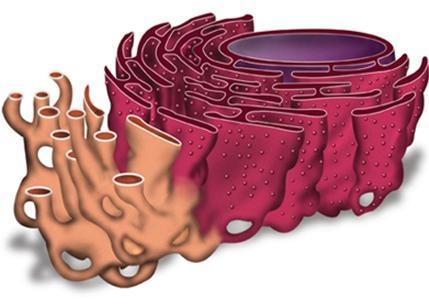 эндоплазматическая сеть фото