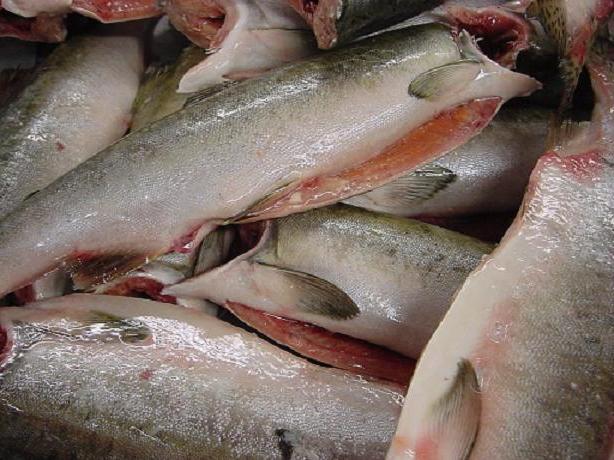 Сахалинские браконьеры ловят рыбу тоннами