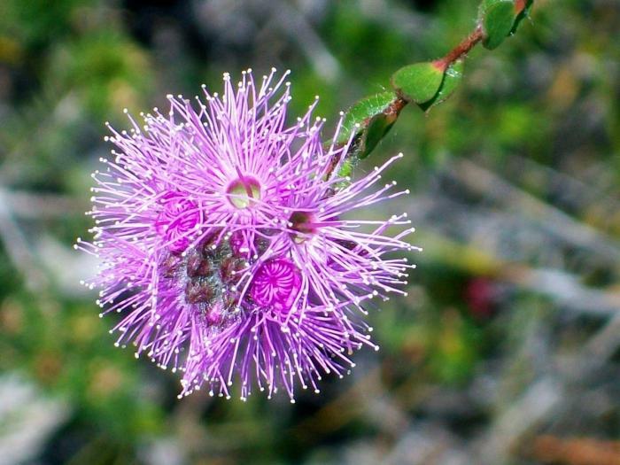 мирт цветок  уход