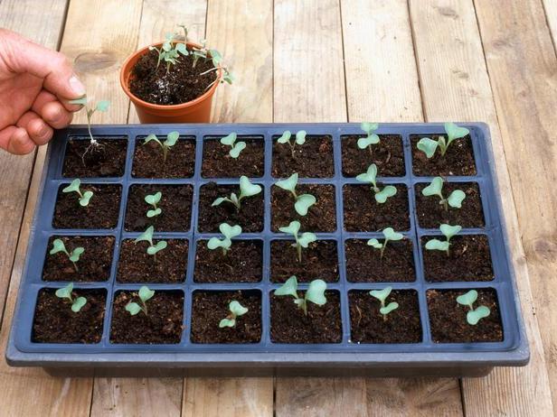 как посадить капусту цветную